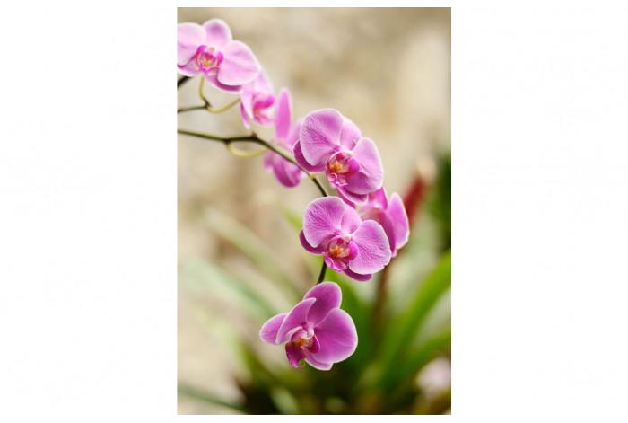 Картина Тёмно розовая орхидея