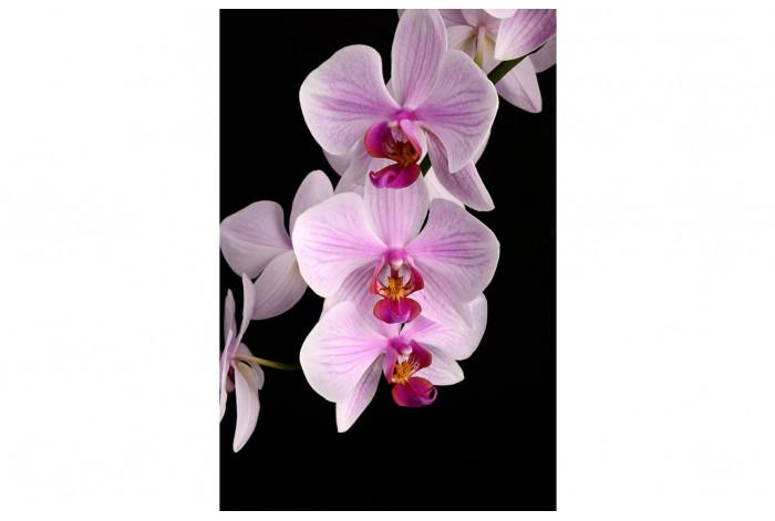 Картина Светло-фиолетовая орхидея на чёрном фоне