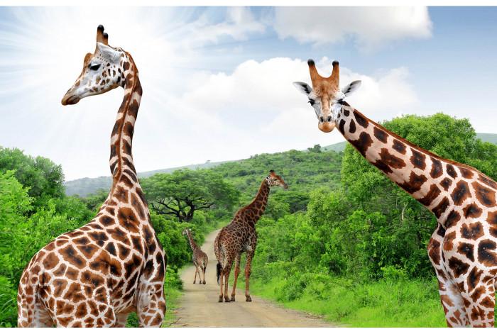 Модульная картина Жирафы из 3 частей