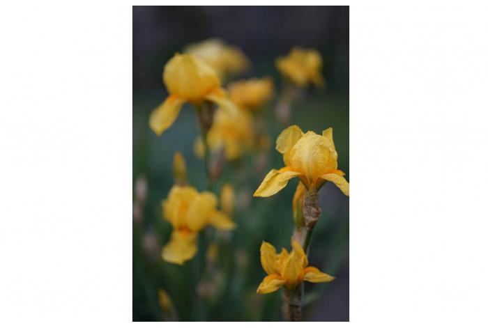 Картина Жёлтые ирисы